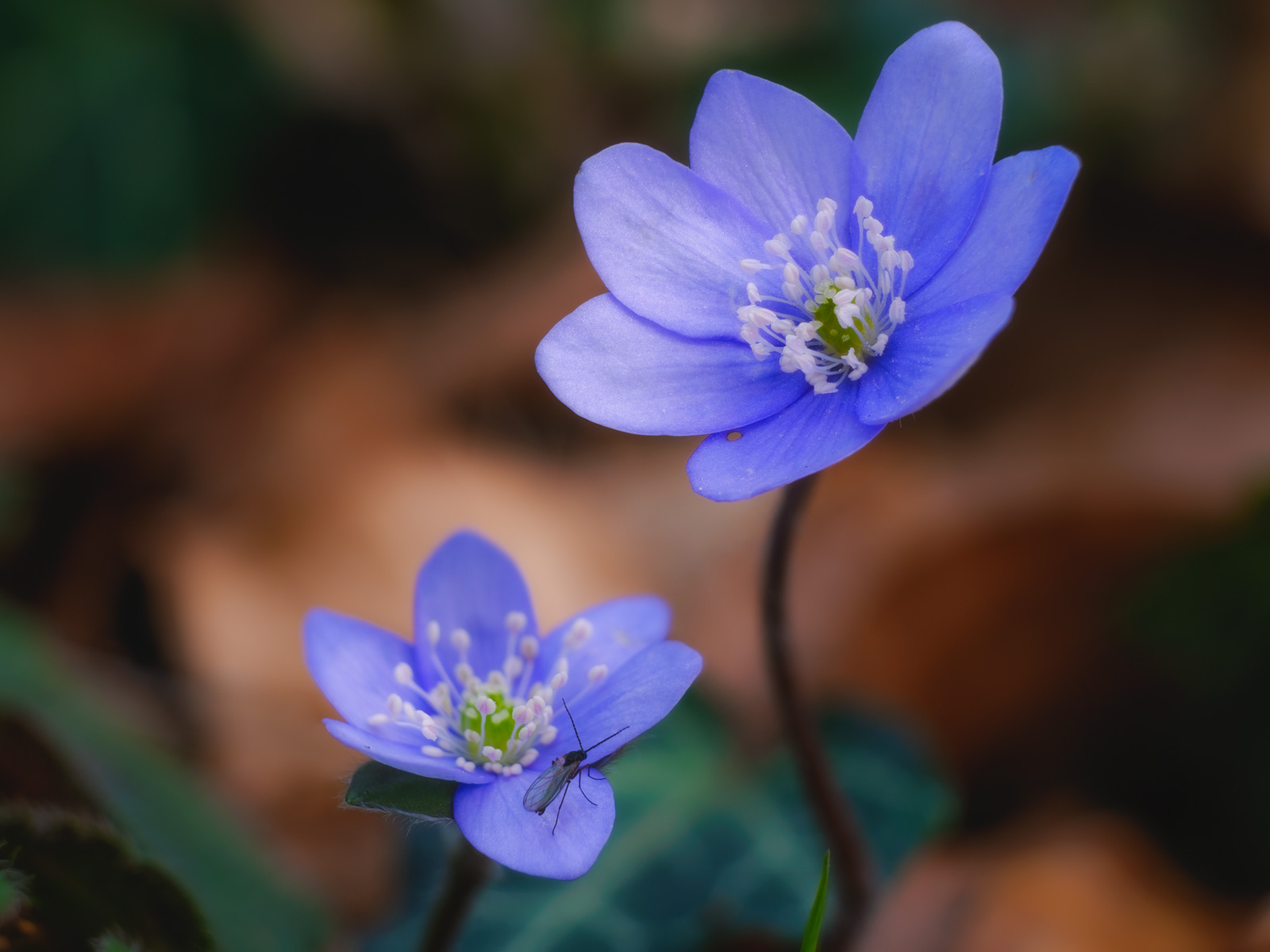 Liverwort blossoms (Hepatica nobilis) in the Teutoburg Forest (Bielefeld-Quelle, Germany)