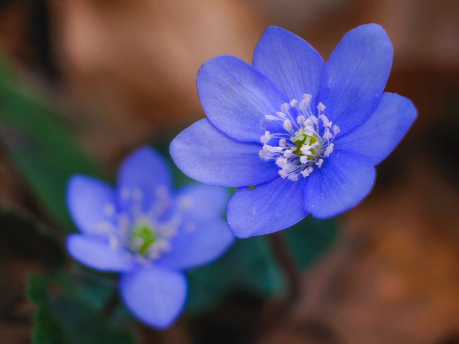 Liverwort blossoms (Hepatica nobilis) in the Teutoburg Forest (Bielefeld-Quelle, Germany).